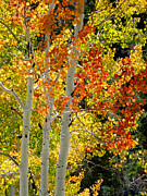 Alan Socolik - Three Aspens in Autumn