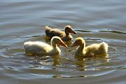 Diana Haronis - Three Baby Ducks Swimming