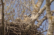 Yakima River Posters - Three Baby Owls  Poster by Jeff  Swan