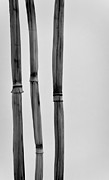 Simpleness Posters - Three Bamboo Stalks Poster by Don Schwartz