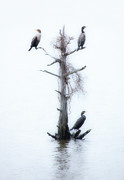Dan Carmichael Framed Prints - Three Birds in a Tree - Outer Banks Framed Print by Dan Carmichael