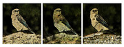 Three Birds Print by John Goyer