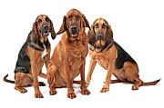 Three Bloodhound Dogs Isolated On White Print by Susan  Schmitz