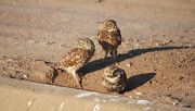 Concern Prints - Three Burrowing Owls Print by Donna Van Vlack