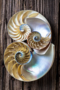 Spirals Acrylic Prints - Three chambered nautilus Acrylic Print by Garry Gay