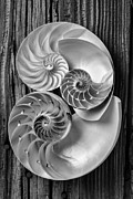 Mollusk Prints - Three chambered nautilus in black and white Print by Garry Gay