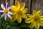 Yellow Fireworks Prints - Three Dahlias Print by Garry Gay