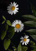 Gardens Digital Art Originals - Three Daisies Enchanted by Wide Awake  Arts
