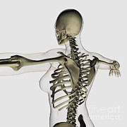 Human Skeleton Art - Three Dimensional View Of Female Upper by Stocktrek Images