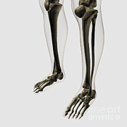 Human Skeleton Digital Art - Three Dimensional View Of Human Leg by Stocktrek Images