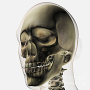 Frontal Bones Framed Prints - Three Dimensional View Of Human Skull Framed Print by Stocktrek Images