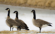 Frozen River Prints - Three Geese abstract Print by Dave Dilli