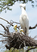 Egret Prints - Three Great Egret Chicks in Nest Print by Carol Groenen