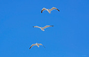 Susan Wiedmann Metal Prints - Three Gulls Soaring Metal Print by Susan Wiedmann