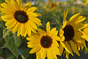 Yellow And Orange Sunflower Prints - Three Heads Print by Roy Thoman