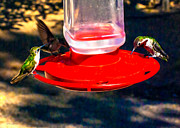 Bob and Nadine Johnston - Three Humming Birds in...