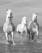 Camargue Horse Posters - Three in the Water Poster by Carol Walker