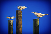John Haldane - Three Laughing Gulls