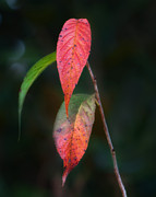 Brenda Bryant Photo Prints - Three Leaves of Fall Print by Brenda Bryant