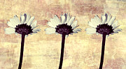 Antique Look Digital Art - Three Little Daisies by Shawna  Rowe