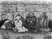 Cute Dogs Drawings Framed Prints - Three Little Shih Tzus Framed Print by Lena Auxier