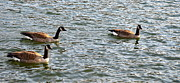 Mallards Photos - Three of a kind by Corinne Rhode