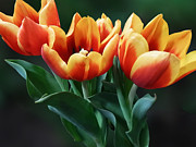 Gardeners Prints - Three Orange and Red Tulips Print by Susan Savad