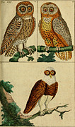 Audubon Drawings Posters - Three Owls Poster by Philip Ralley