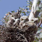 Great Horned Owl Framed Prints - Three pairs of eyes Framed Print by Elvira Butler