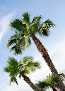 Sabal Palm Trees Prints - Three Palms at Jamaica Beach Print by Connie Fox