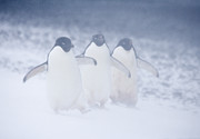 Penguin Metal Prints - Three Penguins in a Blizzard Metal Print by Carol Walker