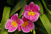 Cindy Manero - Three Pink Orchids