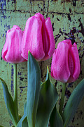 Garry Gay - Three Pink Tulips