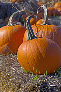 Orange Pumpkin Posters - Three Pumpkins Poster by Sharon  Talson