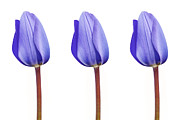 Striking Photography Digital Art Prints - Three Purple Tulips in a Row Print by Natalie Kinnear