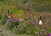 Blending Photos - Three Quiet Canada Geese by Susan Wiedmann