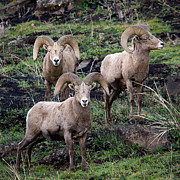 Ewes Art - Three Rams by Steve McKinzie