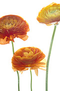 Orange Flowers Posters - Three Raunuculus Poster by Rebecca Cozart