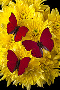 Yellows Prints - Three Red Butterflys Print by Garry Gay