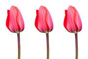 Striking Photography Digital Art Prints - Three Red Tulips in a Row Print by Natalie Kinnear