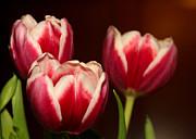 Sabrina L Ryan - Three Red Tulips