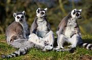 Nick  Biemans - Three Ring-tailed lemurs on a row