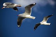 Seabirds Posters - Three silver gulls in flight Poster by Sheila Smart