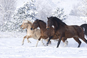 Horse Run Photos - Three Snow Horses by Carol Walker