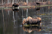 Ron Day - Three Spring Moose
