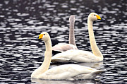 Flying Swan Photos - Three swans  by Tommy Hammarsten