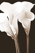 Mary Deal - Three Tall Calla Lilies in Sepia