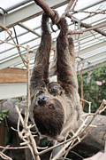 Brown-throated Three-toed Sloth Prints - Three-toed Sloth and baby Print by Odon Czintos