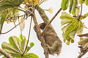 Sloth Posters - Three Toed Sloth Climber Poster by Natural Focal Point Photography