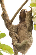Sloth Posters - Three Toed Sloth in Costa Rica Poster by Natural Focal Point Photography